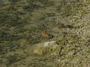 Pelophylax cretensis
