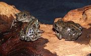 Pelobates fuscus