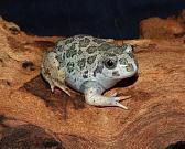 Pelobates syriacus