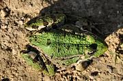 Pelophylax bedriagae