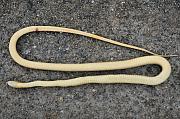 Dolichophis caspius