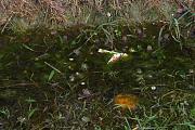 Pelophylax/Rana sp.