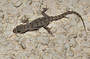 Mediodactylus kotschyi