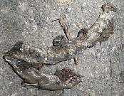 Anguis fragilis s.l.