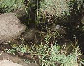 Mauremys rivulata