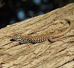 Podarcis milensis