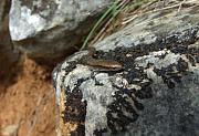 Ablepharus kitaibelii