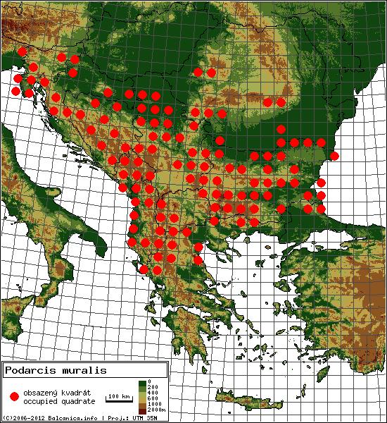 Podarcis muralis - mapa všech obsazených kvadrátů, UTM 50x50 km