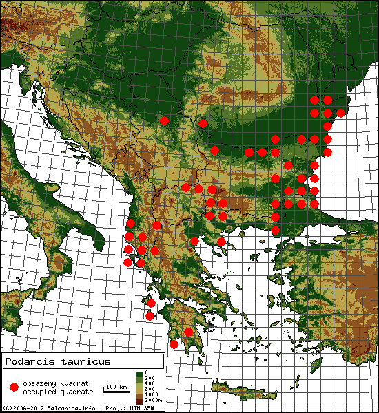 Podarcis tauricus - mapa všech obsazených kvadrátů, UTM 50x50 km
